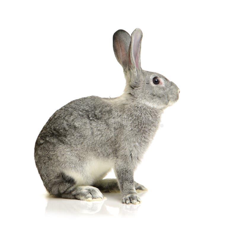 Grey rabbit. Isolated on white background stock photography