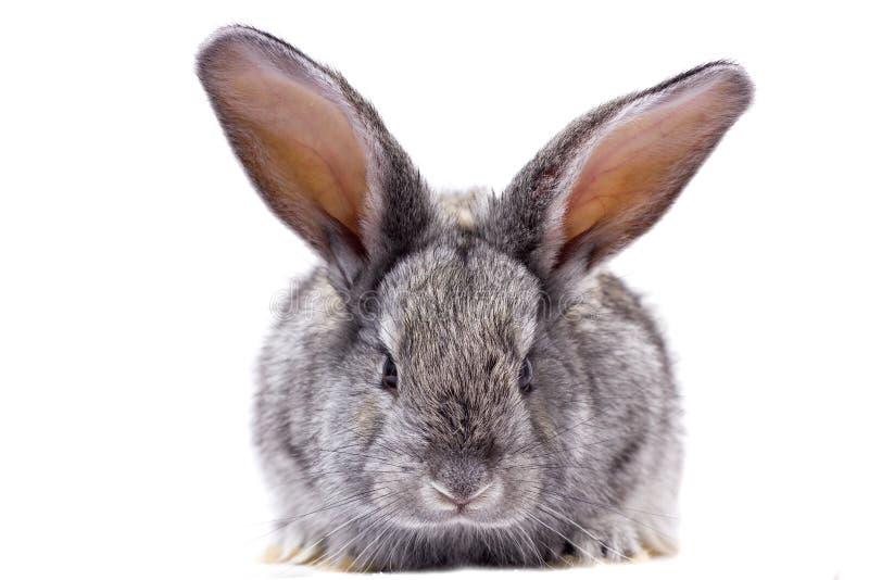 Grey rabbit isolate, beautiful decorative. Rabbit playing rabbit royalty free stock image