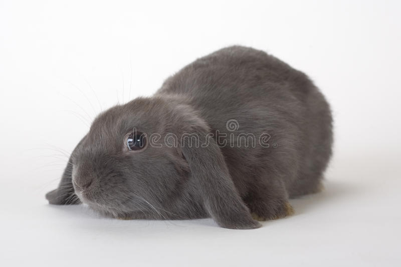 Download Grey Rabbit, Isolated Royalty Free Stock Images - Image: 12211769