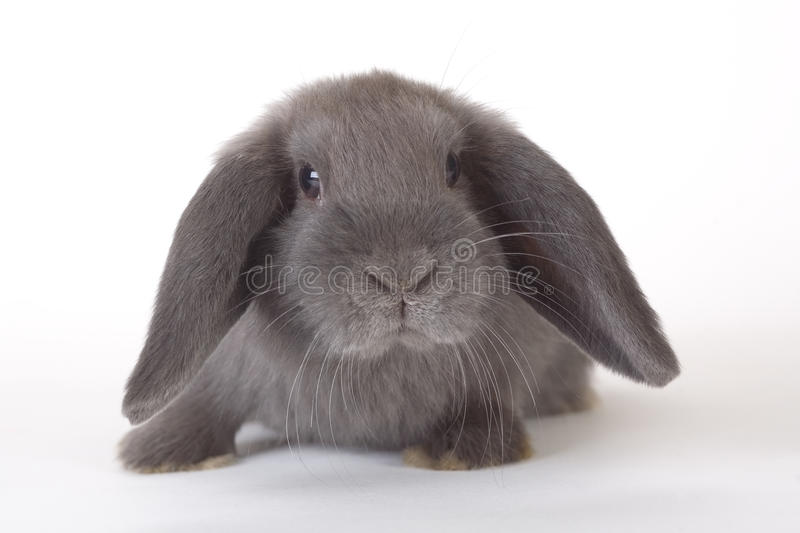 Download Grey rabbit, isolated stock image. Image of little, white - 12211773
