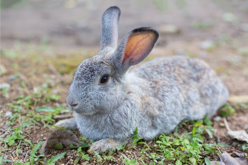 Grey Rabbit na terra fotografia de stock royalty free