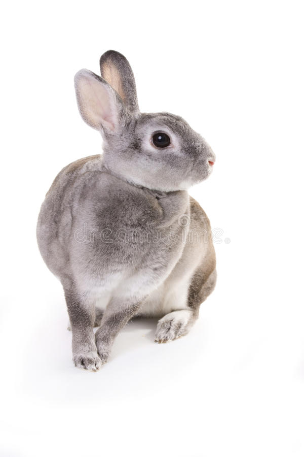 Grey rabbit sitting. Netherland dwarf stock photos