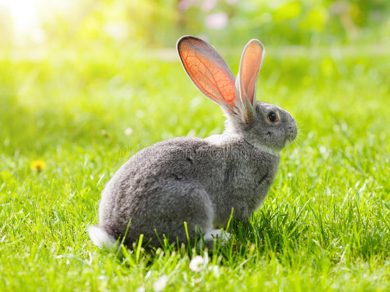Grey rabbit sitting in garden stock images