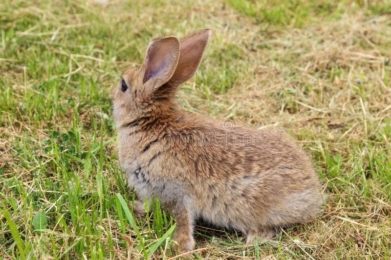 Grey rabbit sitting on green grass decided to run away. stock photos