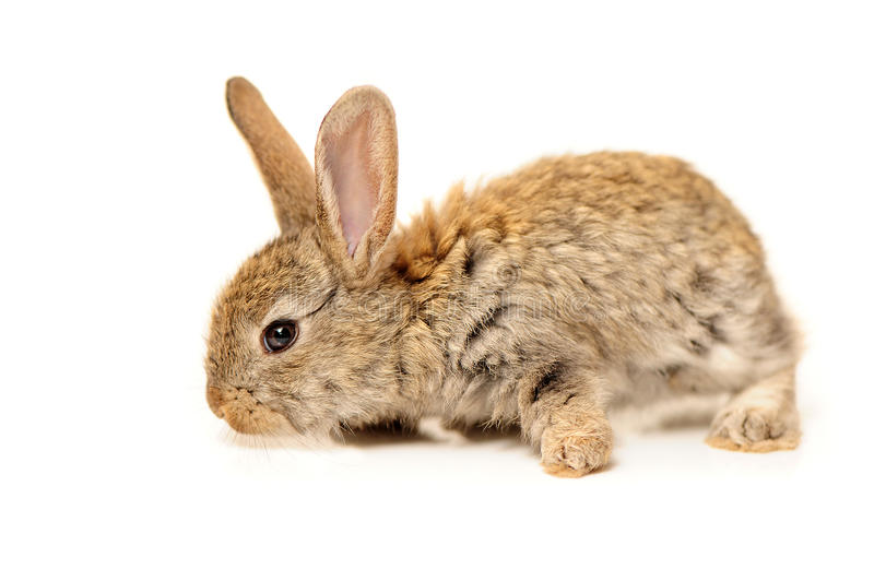 Download Grey rabbit stock photo. Image of shot, copy, farm, grizzly - 33180624