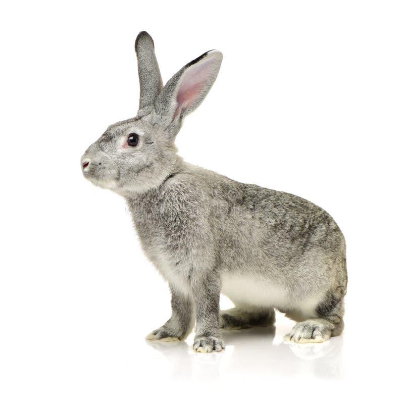 Grey rabbit. On a white background stock photo