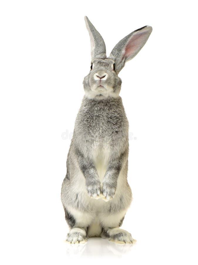 Grey rabbit. On a white background royalty free stock photo