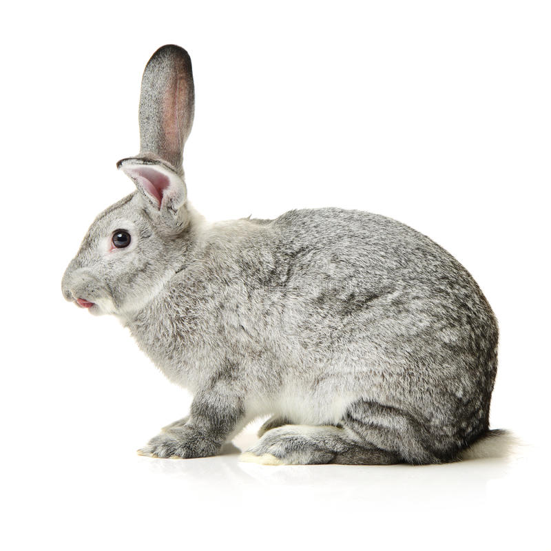 Grey rabbit. On a white background royalty free stock images