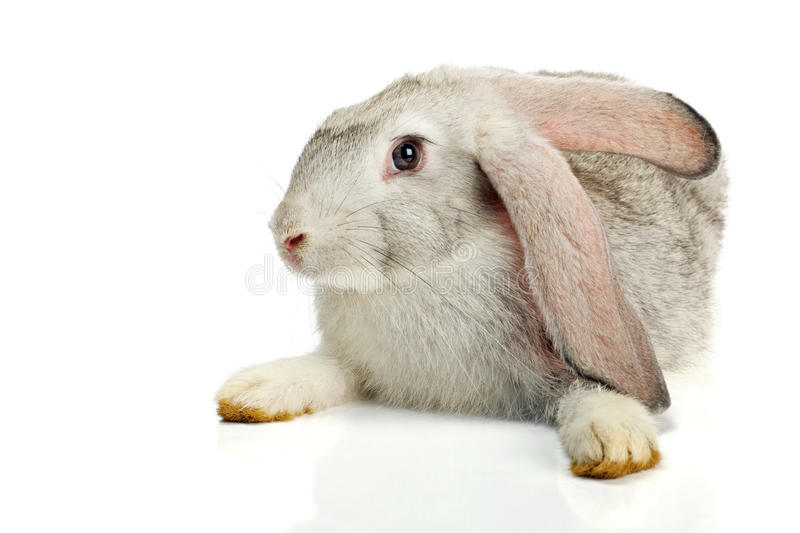 Grey rabbit on white background stock photo