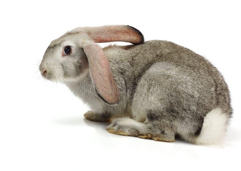 Grey rabbit on white background royalty free stock photo
