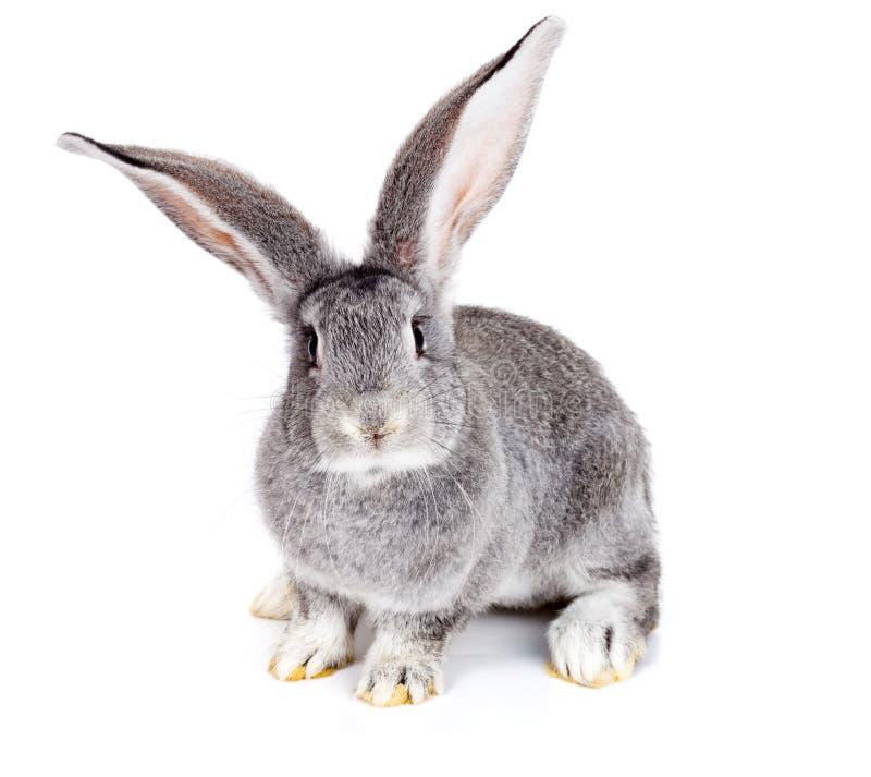 Grey rabbit on white background stock photo