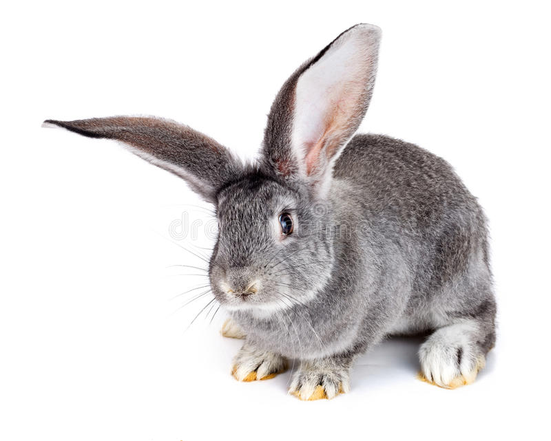 Grey rabbit on white background stock photography