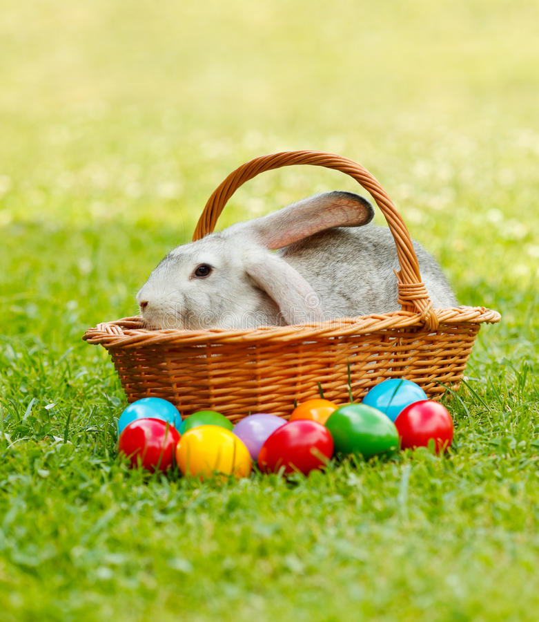 Grey rabbit in wicker basket along the colorful easter eggs stock photos