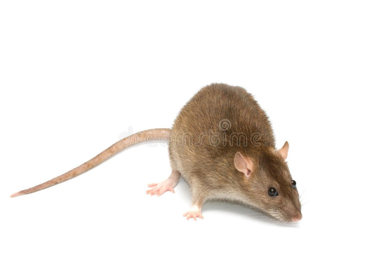 Grey rat stock images