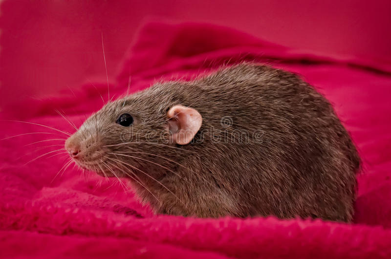 Download Grey Rat stock photo. Image of cute, funny, closeup, young - 25039604