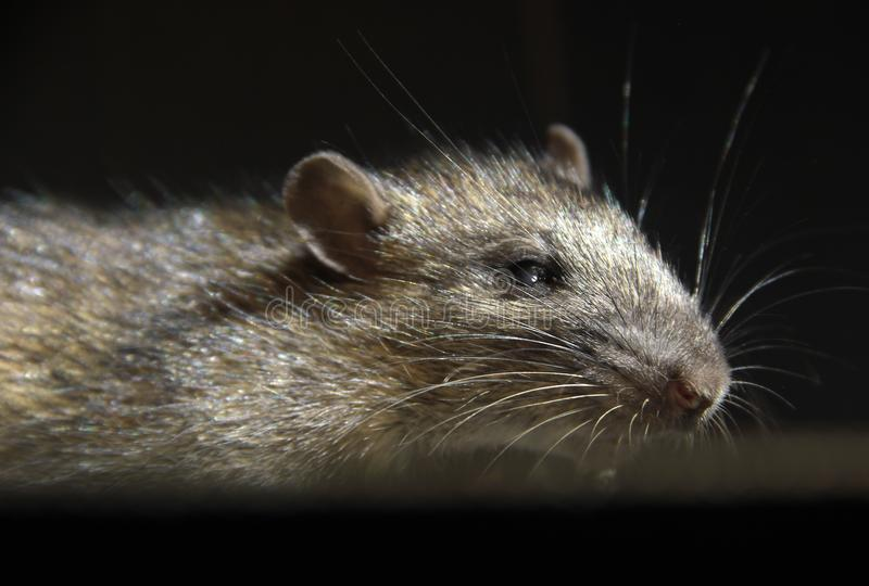 Grey rat attacks from dark. Big grey rat on black background. Focus on a head stock images