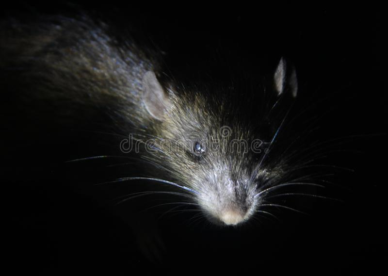 Grey rat attacks from dark. Big grey rat on black background. Focus on a head royalty free stock images