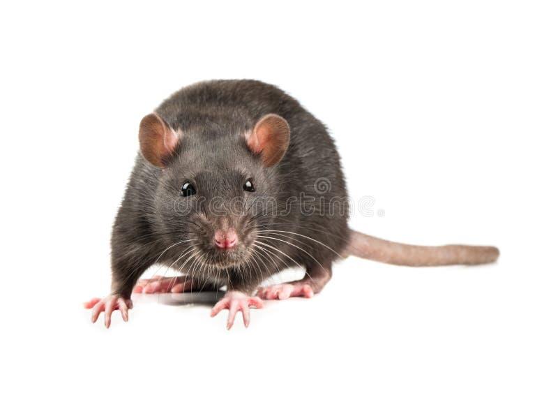 Grey rat isolate royalty free stock photo