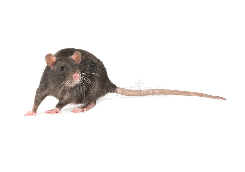 Grey rat isolate royalty free stock photography