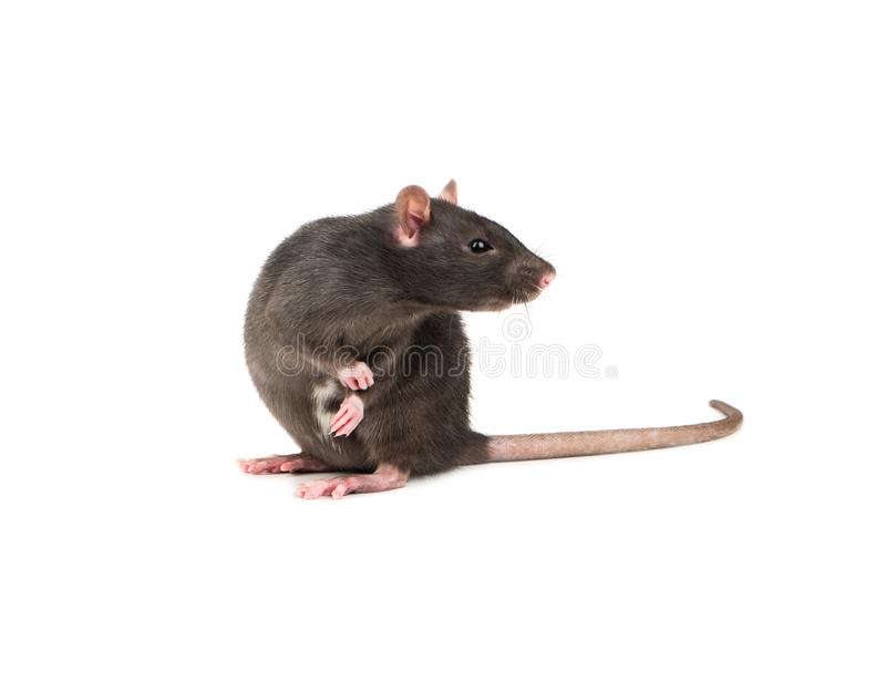 Grey rat isolate stock images
