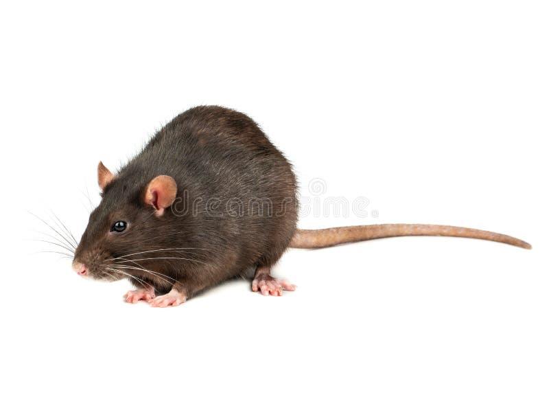 Grey rat isolated stock photos