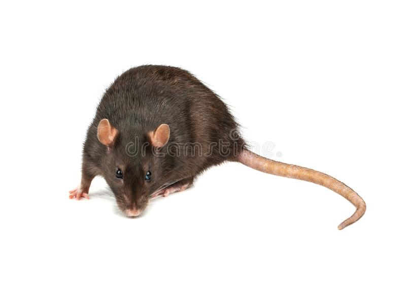 Grey rat isolated royalty free stock photography