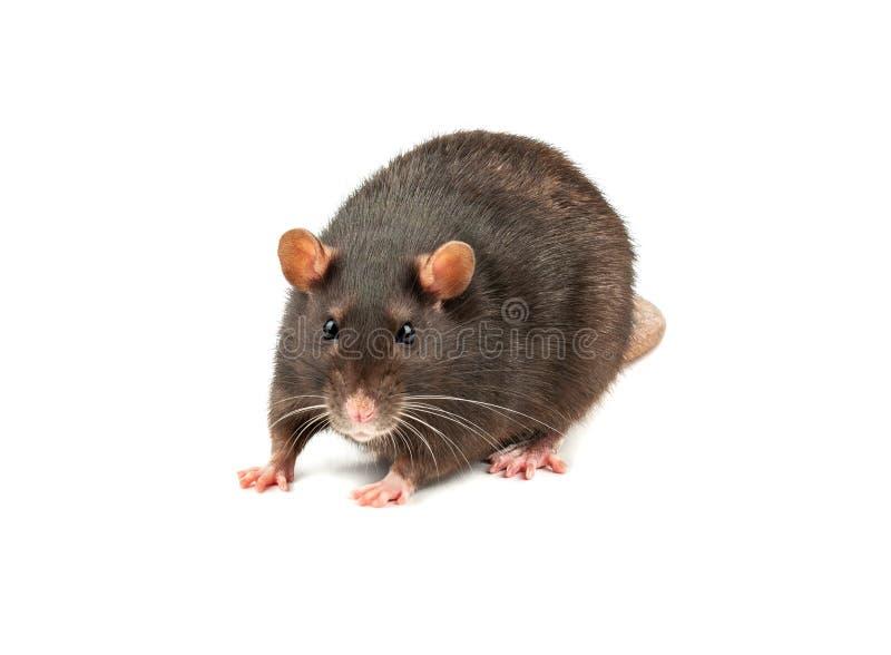 Grey rat isolated royalty free stock photo
