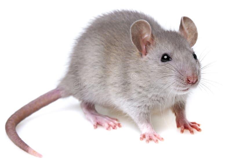 Grey rat. Isolated on white