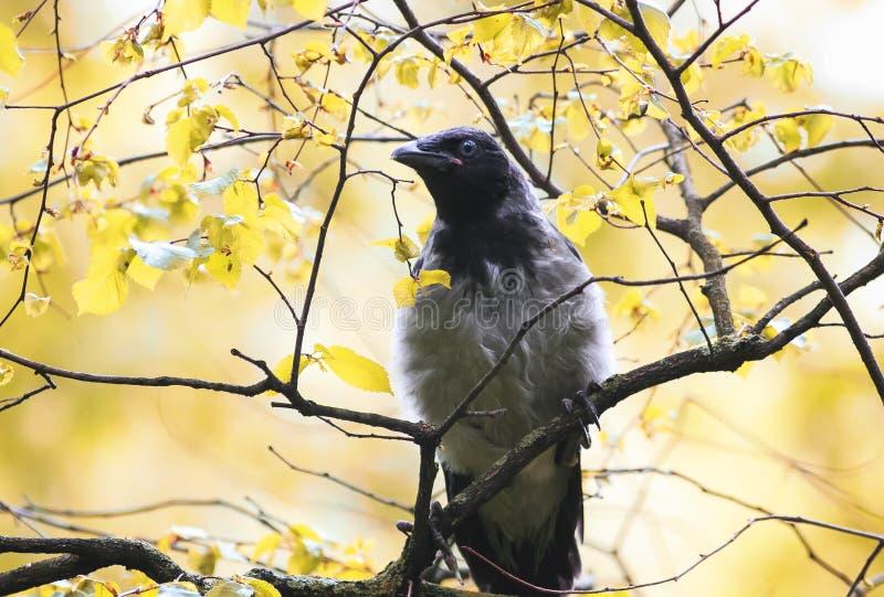 Grey Raven está no ramo de uma árvore no parque do outono imagens de stock