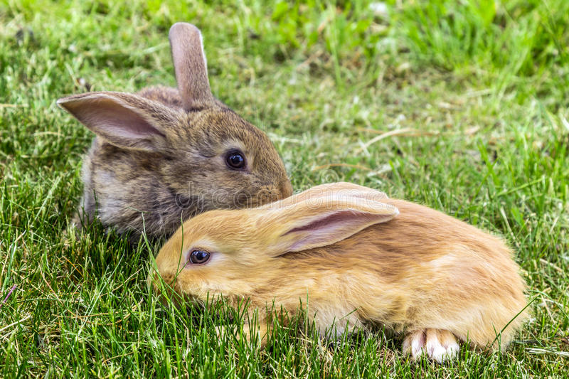 Grey and red young rabbits. stock photo