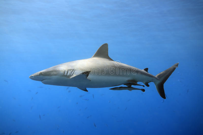 Grey Reef Shark. A grey reef, or whaler shark swimming in shallow water with sunbeams and some small fish in the background. Two suckerfish are attached to the
