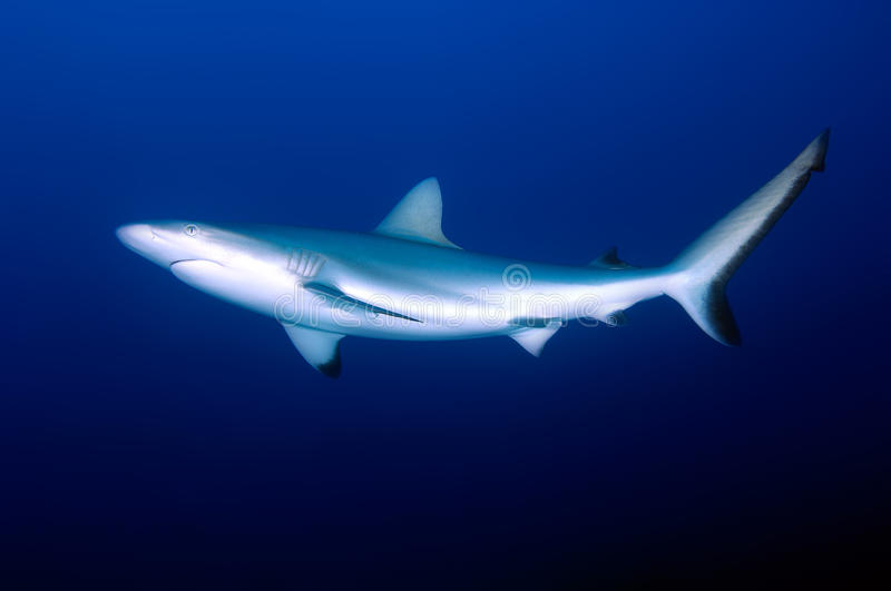 Download Grey reef shark stock photo. Image of diving, tourism - 15552708