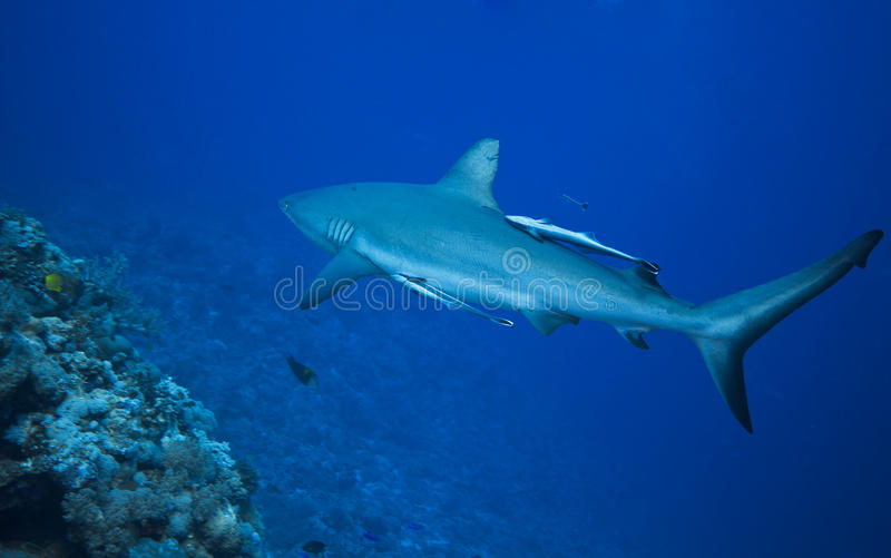 Download Grey reef shark stock image. Image of tropical, australia - 15852279