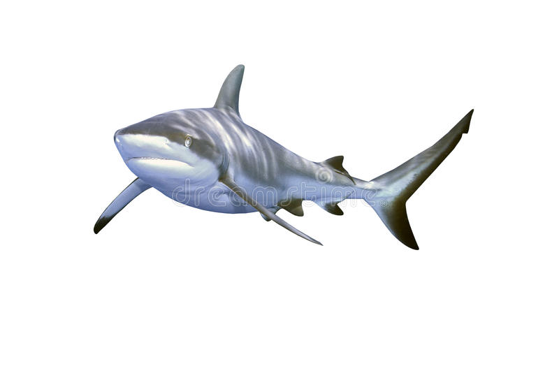 Grey Reef Shark. A large grey reef shark showing the mouth and teeth and isolated on white background