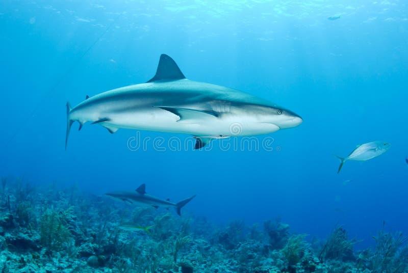 Grey reef shark. Reef shark swims in clear blue ocean royalty free stock photos