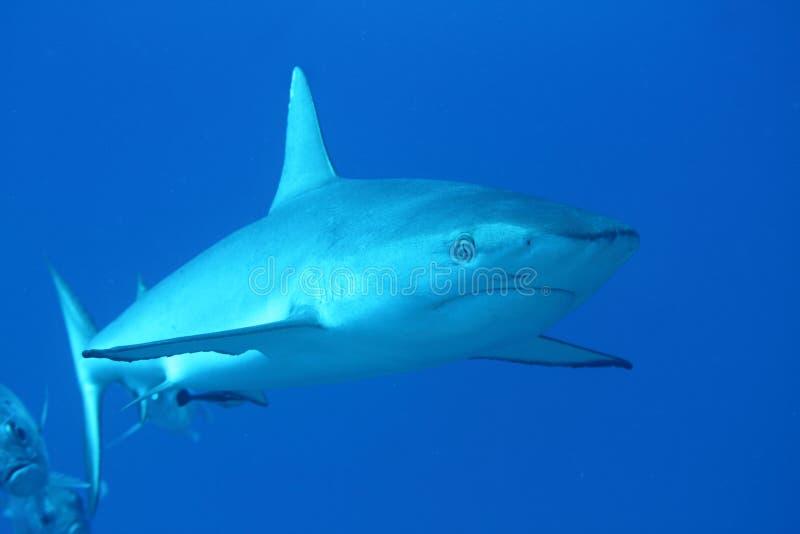 Grey reef shark with an accompanion royalty free stock image