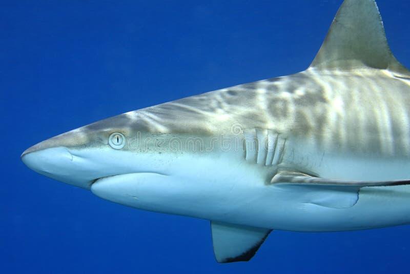 Grey Reef Shark, amblyrhynchos de Carcharhinus image libre de droits