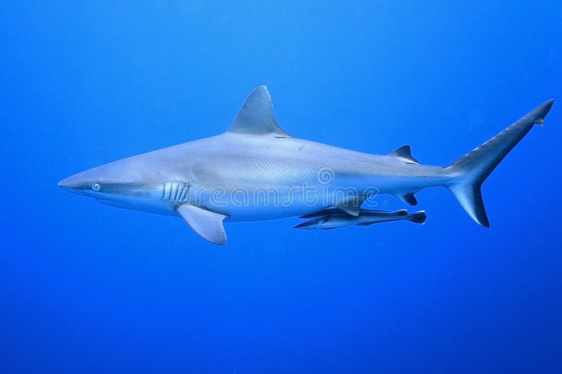Download Grey Reef Shark With Suckerfish Stock Image - Image: 40309263