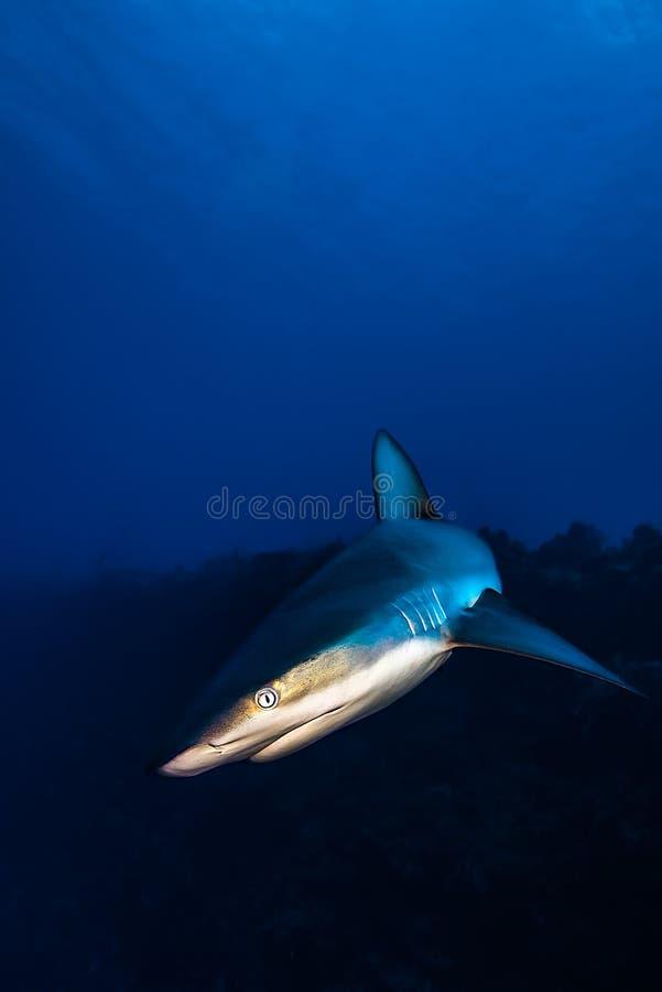 Grey Reef Shark-Treffen in einem karibischen Riff lizenzfreie stockfotos