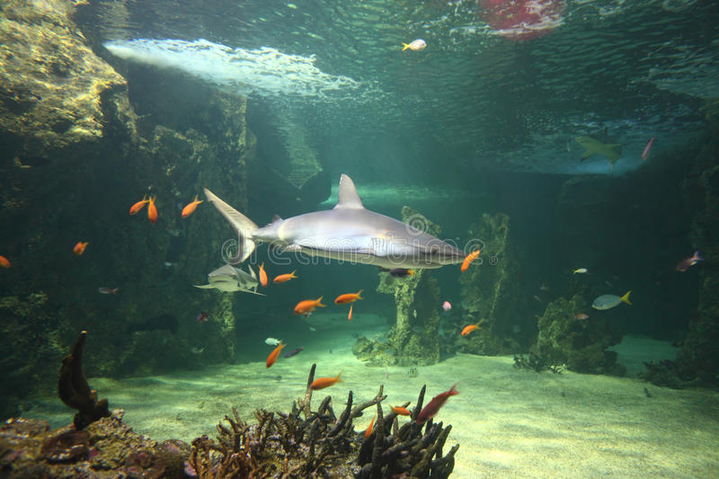 Download Grey reef sharks stock photo. Image of animal, color - 17483140