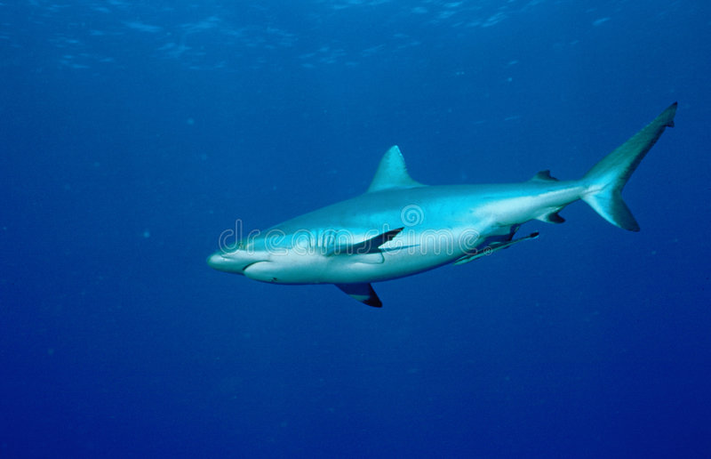 Grey Reefshark royalty free stock photography