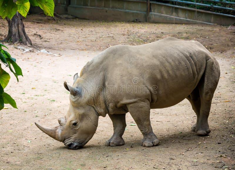 Grey Rhino African Huge Animal grande que está na areia imagens de stock royalty free