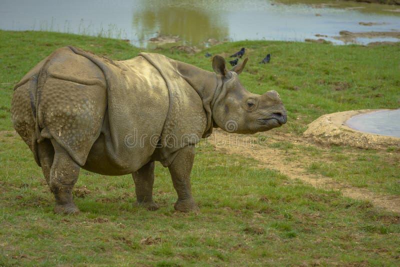 Grey Rhinoceros ohne Hornes stockfotografie