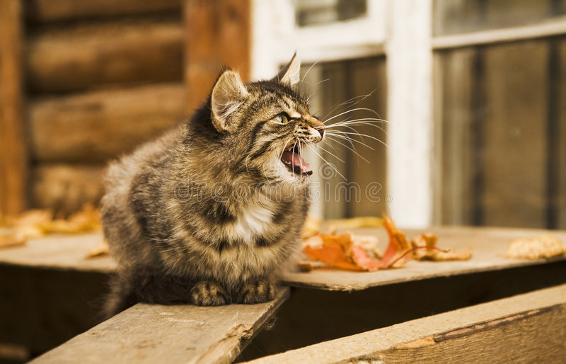 Grey Rural Cat Is Angry Royalty Free Stock Photo