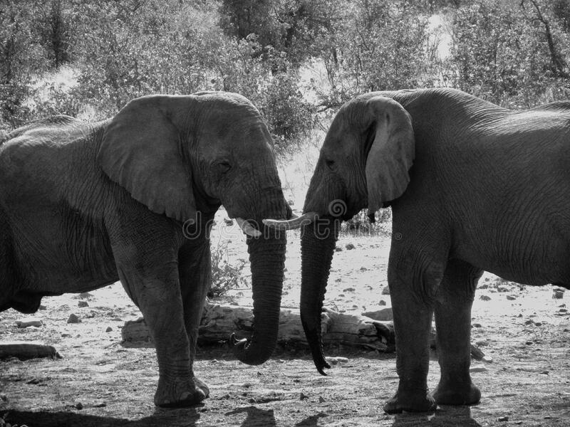 Grey Scale Photograph Of Two Elephant Free Public Domain Cc0 Image