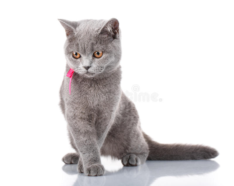 Grey Scottish Fold-kat met roze lintzitting op wit, concept gunst royalty-vrije stock foto's
