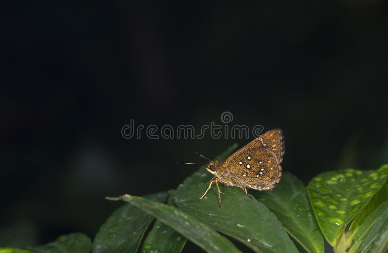 Grey Scrub Hopper Butterfly at Garo Hills,Meghalaya,India royalty free stock photography