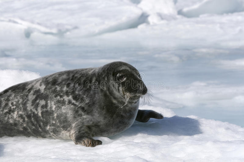 Download Grey seal stock image. Image of grypus, seal, arctic - 10778963