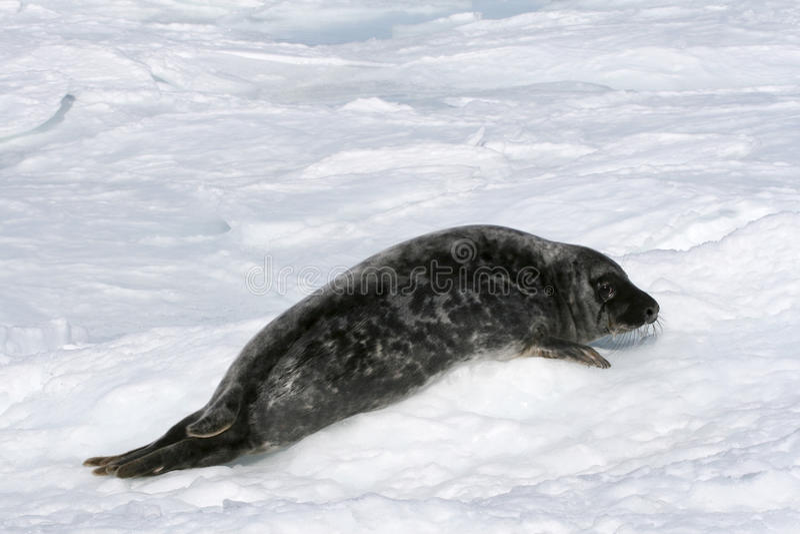 Download Grey Seal Royalty Free Stock Photos - Image: 10779078