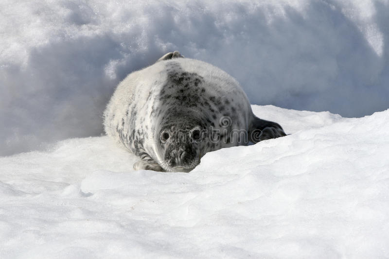 Download Grey seal stock photo. Image of freezing, grypus, animal - 10779118